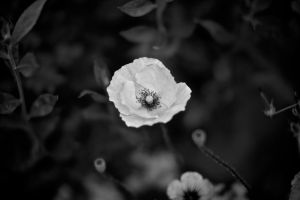 White Poppy by DanNoland