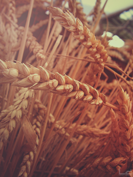The Eden Project: Wheat Macro by L-Delain