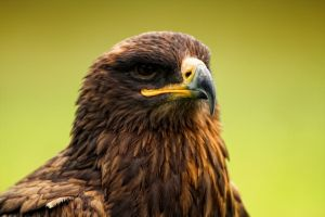 steppe eagle by deoroller