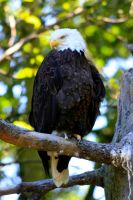 Bald Eagle by Sp3nc3r-H1nds