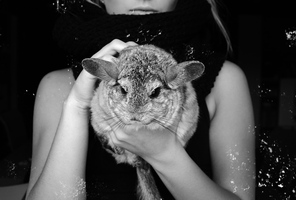 Chinchilla 03 by Donnis
