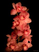 Pink Orchids at Night by ToysoldierThor