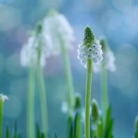 Muscari by SarahharaS1