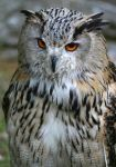 Eurasian Eagle-Owl VI by Parides