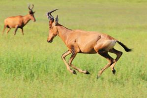 Red Hartebeest - Galloping Freedom by LivingWild