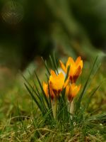 Early Crocus by webcruiser