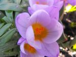 Close-up pruple crocus by Trea1969