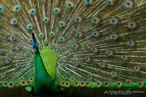 Green Peacock by xenocerebral