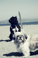 The Pit Bull And The Shih-Tzu by xxtgxx
