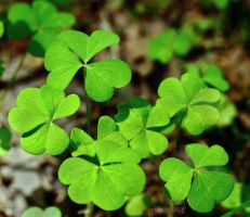 Still Looking 4 leaf clover by caillteone