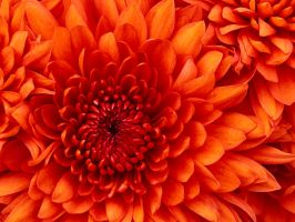 Chrysanthemum by TOYLANDPICTURES