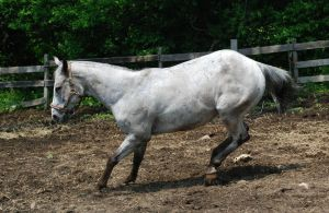 Appaloosa 65 by Spotstock