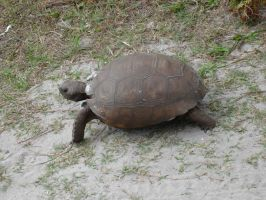 Gopher Tortoise by steveclaus
