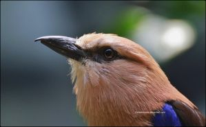 Portrait Of A Blue-Bellied Roller by SilkenWinds