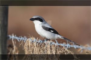 Loggerhead Shrike by Grouper