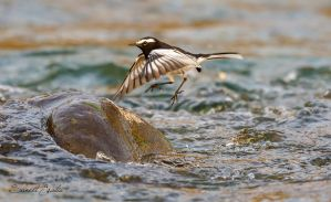 White browed wagtail midflight by freudian-slips