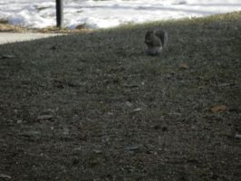 Common Grey Squirrel by Flaherty56