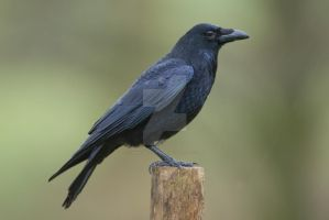 Something to Rave about - Raven by Jamie-MacArthur