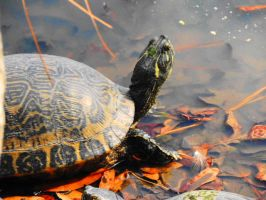 Turtle in the Park by SharPhotography