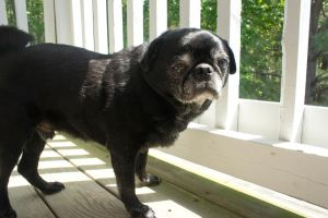 Porch Pug by LDFranklin