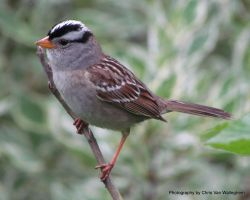 White-crowned Sparrow Serenade III by vanwaglajam