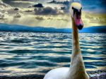 Portrait of a swan by Damir-Olejar