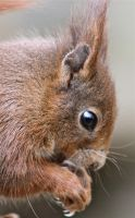 Red Squirrel by rogerdurling