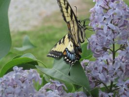 butterfly 4 by lunafox90