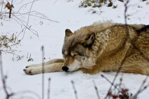 Sleeping on the snow by Roland3791