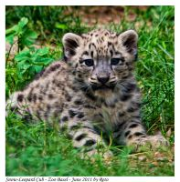 Snow Leopard Cub 2 by Reto