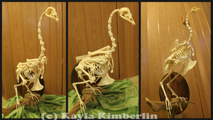 Peacock Skeleton Articulation by BluesCuriosities