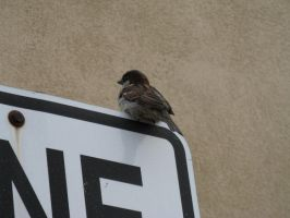 Sparrow on a sign by musicsuperspaz