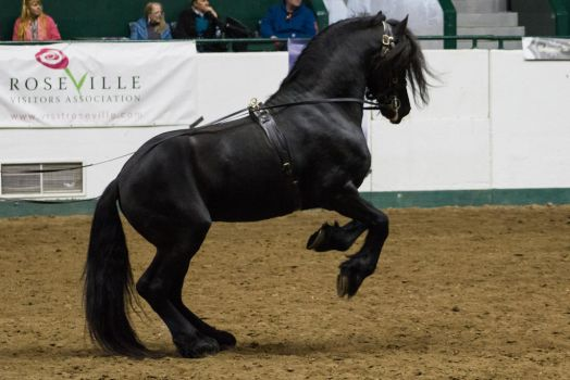 Friesian 13 by CastleGraphics