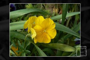 080521 - Yellow Pansy by lilith-darkmoon