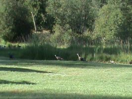 Family of Wild Turkeys by AHumrich92
