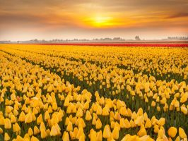 Tulips are forever..............( holland ) by Betuwefotograaf