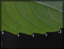 Leaf with dew 40D0012185 by Cristian-M