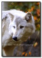 Wild Beauty by LoneWolfPhotography