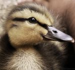Duck Duck's Duckling Side Profile by dramaticpeanut