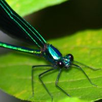 black winged damselfly by Moon-Willow