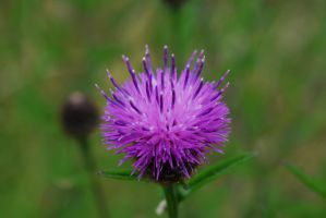 Thistle by Fawwna