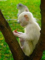 Albino Monkey by ghotti2k