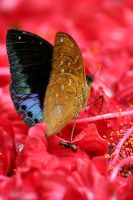 Butterfly Photo 3 by blookz