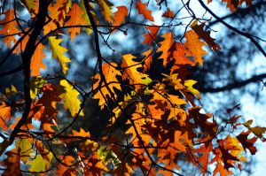 Fiery leaves by Nikki-vdp