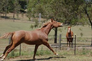 42 galloping head flick by Chunga-Stock