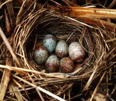 Mockingbird Eggs in Nest by Foozma73