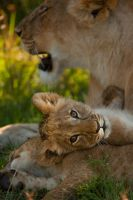 African Lion 108 by catman-suha