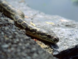 Carpet Python by ShannonIWalters