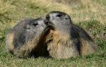 Marmot 58 - cuddle of marmots by Momotte2stocks