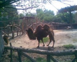 Bactrian camel by LeRosaVare